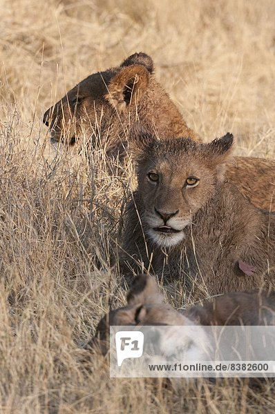 Lions (Panthera leo)  Okavango delta  Botswana  Africa
