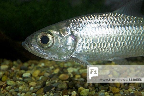 Fisch  Pisces  Fotografie  nehmen  Museum  Sarawak
