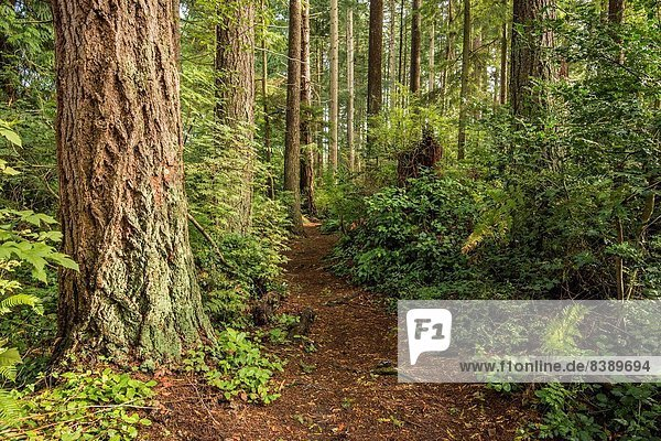 Sword Fern trail in the forest near the University of British Columbia  Vancouver  BC  Canada.