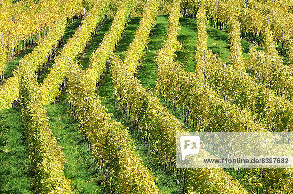 Weinberg im Herbst  Trollinger  bei Winterbach  Remstal  Baden-Württemberg  Deutschland