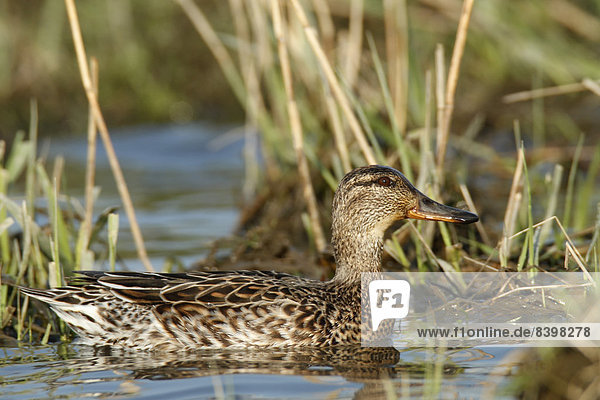 Common Teal (Anas crecca)  female  Strohauser Plate river island  Lower Saxony  Germany