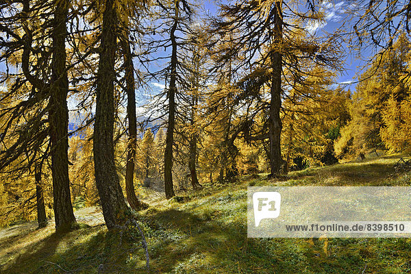 European Larch (Larix decidua)  larch meadows  Obernbergtal Valley  Tyrol  Austria