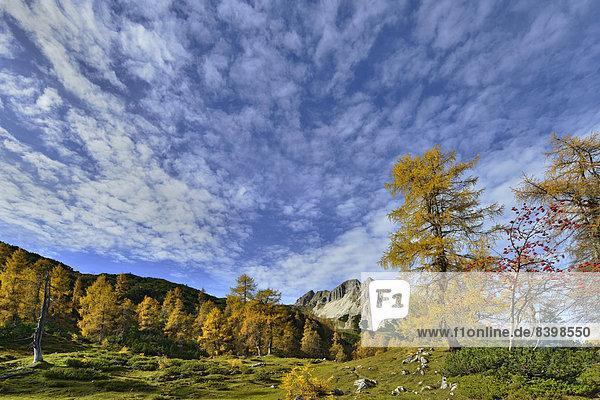 La?rchenwald (Larix decidua)  Mondscheinspitze  Karwendel-Gebirge  Tirol  Österreich