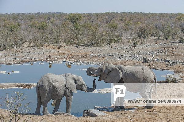 Zwei afrikanische Elefanten (Loxodonta africana) trinken am Halali Wasserloch  Etosha National Park  Namibia