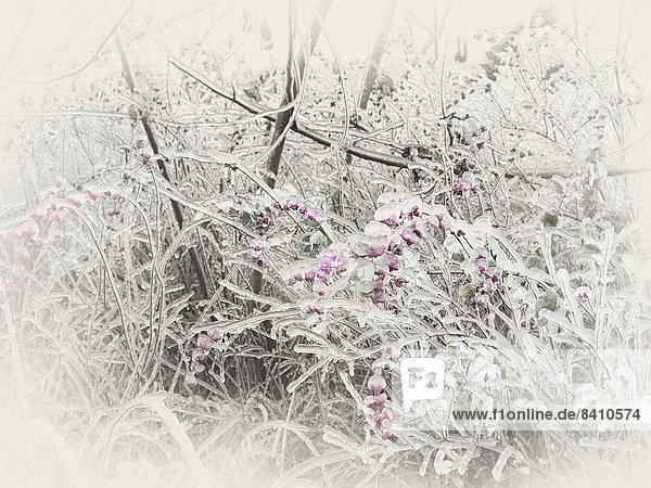 Überfrorene  eis-überzogene Zweige und rosa Beeren eines Schneebeeren-Strauchs