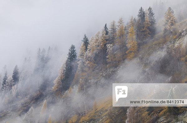 Lärchen (Larix decidua) im ersten Schneefall  Vals  Steinach  Tiroler Oberland  Tirol  Österreich