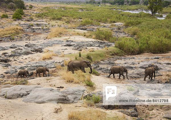 Afrikanische Elefanten (Loxodonta africana)  Herde  Krüger Nationalpark  Südafrika
