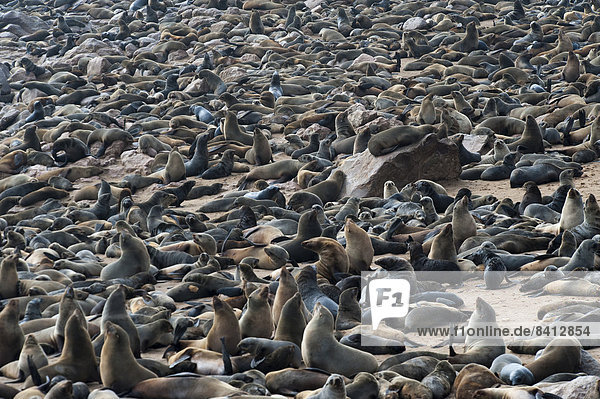 Südafrikanischer Seebär (Arctocephalus pusillus)  Kolonie am Strand  Kreuzkap  Region Erongo  Namibia