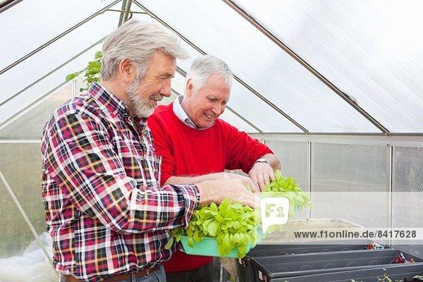 Ältere männliche Freunde in Gewächshauspflanzen
