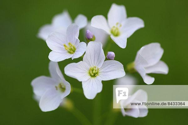Makroaufnahme  Blume  weiß  Blüte  Pflanze  Close-up  close-ups  close up  close ups  pink  Schweiz