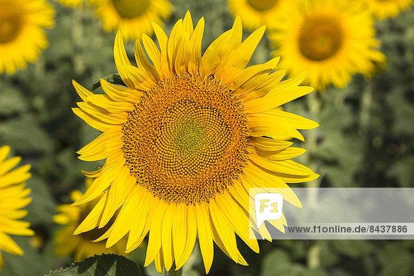 Europa  Blume  gelb  Pflanze  Sonnenblume  helianthus annuus  Andalusien  Öl  Samen  Spanien