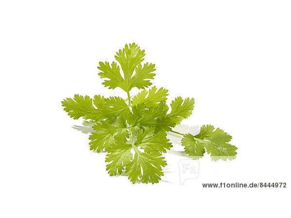 Koriander (Coriandrum sativum)  Studioaufnahme