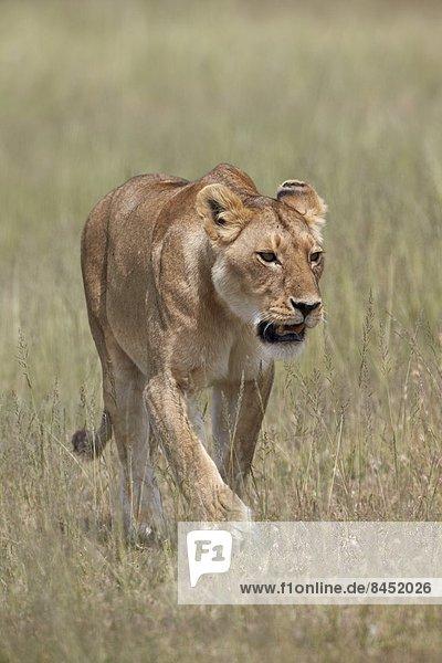 Lioness (Panthera leo)  Serengeti National Park  Tanzania  East Africa  Africa