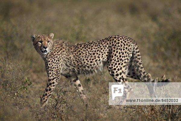 Ostafrika  Serengeti Nationalpark  Afrika  Tansania