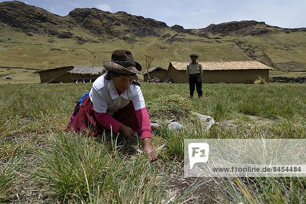 Frau erntet mit einer Sichel Gras als Viehfutter  Quispillaccta  Ayacucho  Peru