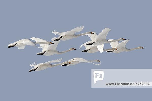 Whooper Swans (Cygnus cygnus)  flight formation  Strohauser Plate  Lower Saxony  Germany