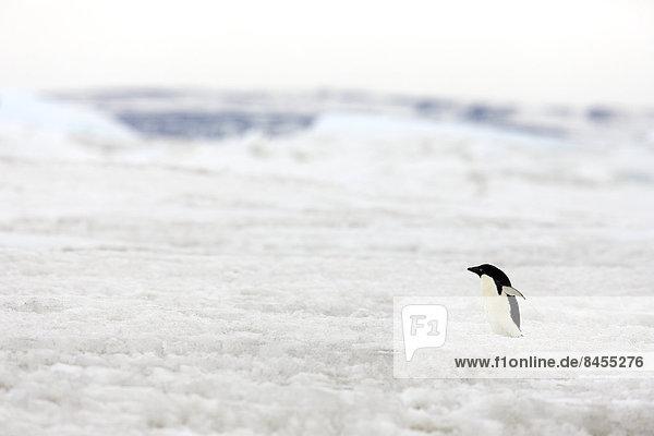 Adélie Penguin (Pygoscelis adeliae)  pack ice  Weddell Sea  Antarctica