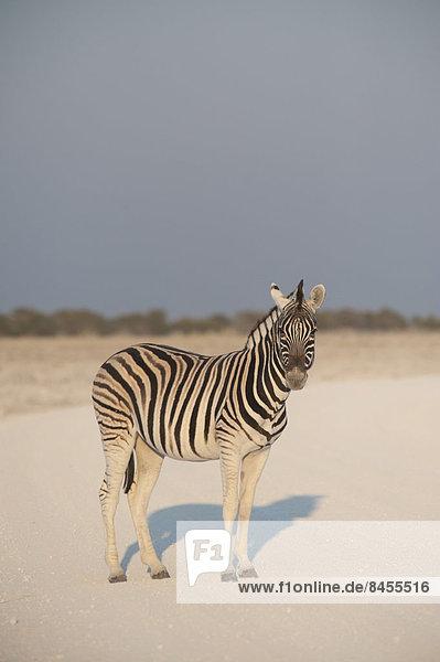 Steppenzebra (Equus Quagga burchellii) steht auf einer staubigen Straße  Etosha Nationalpark  Namibia