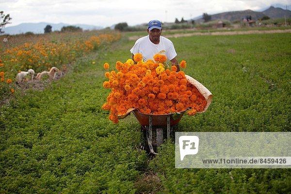 Ringelblume  Calendula officinalis  Tag  tragen  Blume  Fest  festlich  Tradition  ehrbar  Bauer  Mexiko  Oaxaca