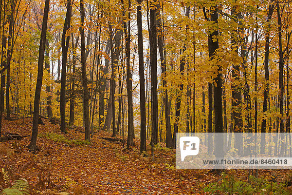 Ahorn Wald Acer Im Herbst Eastern Townships Quebec Kanada