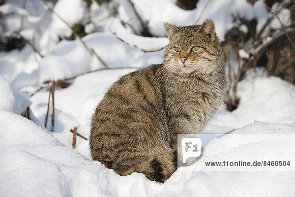 Wildkatze (Felis silvestris) sitzt im Schnee  captive  Thüringen  Deutschland