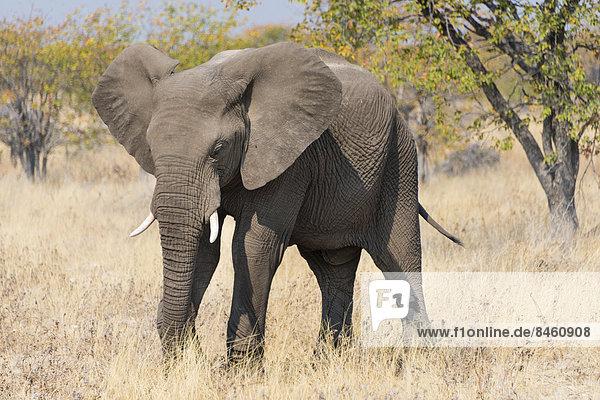 Fressender Afrikanischer Elefant (Loxodonta africana)  Etosha-Nationalpark  Namibia