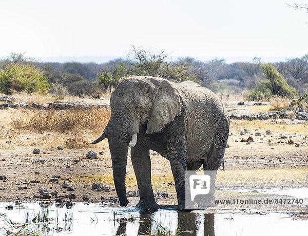 Afrikanischer Elefant (Loxodonta africana) steht zum Trinken im Wasser  Etosha Nationalpark  Wasserstelle Koinachas  Namibia