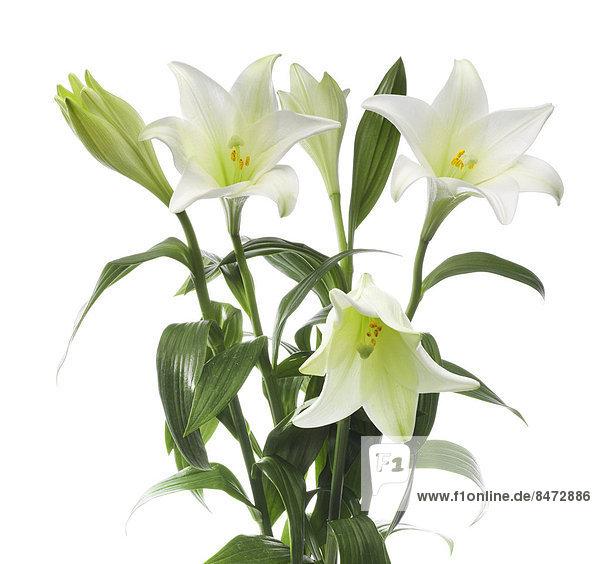 Oster-Lilien (Lilium longiflorum)
