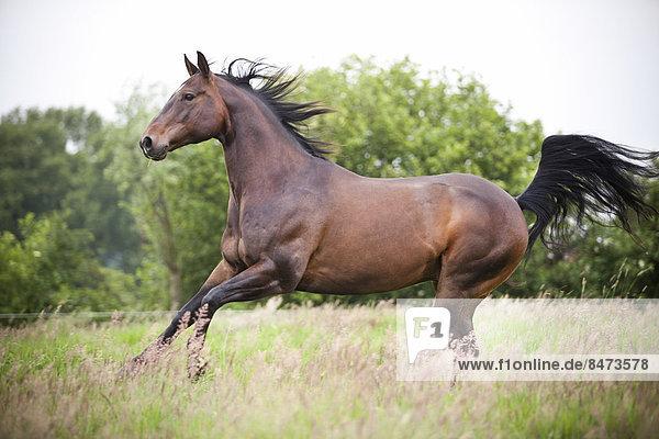 American Quarter Horse  Wallach  Brauner  freilaufend auf Wiese im Galopp