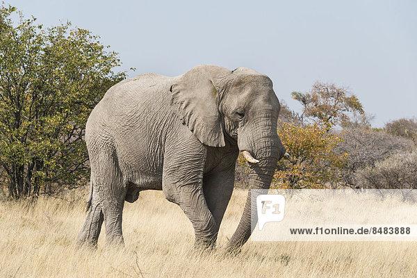 gehen trocken Strauch Elefant Namibia Gras Etoscha Wildpark Etosha