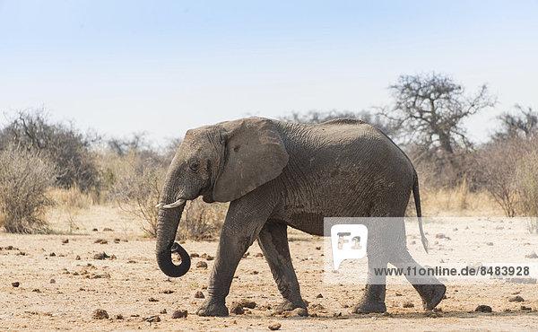 Afrikanischer Elefant (Loxodonta africana)  Etosha National Park  Namibia