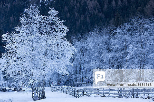 Trees covered in hoarfrost in Gschnitztal Valley  Tyrol  Austria