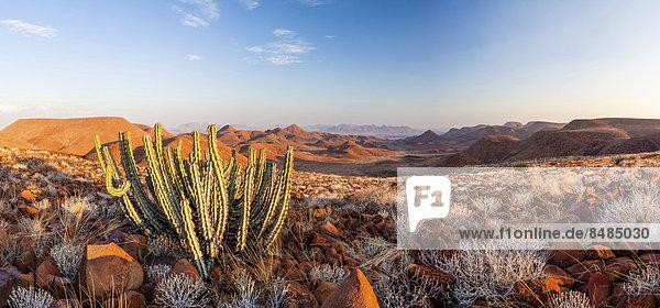 Namibische Giftwolfsmilch (Euphorbia Virosa)  Damaraland  Krone Canyon  Namibia