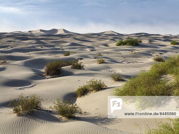 Vereinzelte junge Honig Mesquite B‰ume (Prosopis glandulosa torreyana) auf den Mesquite Flat Sand Dunes  Sandd¸nen am fr¸hen Morgen  Death Valley  Death-Valley-Nationalpark  Kalifornien  USA