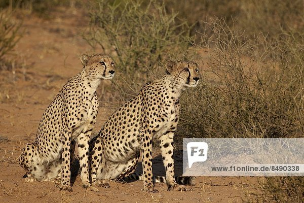 Südliches Afrika  Südafrika  Nostalgie  Kalahari  Afrika