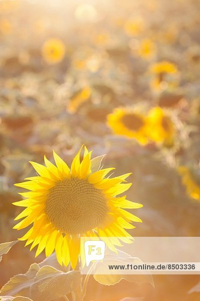 Sunflowers in sunlight