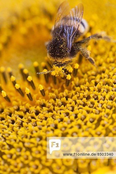 Biene auf Sonnenblume  Nahaufnahme