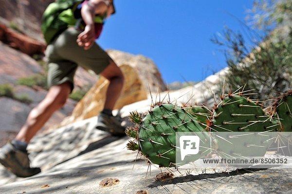 Weibliche Wanderung auf Felsen  Mount Wilson  Red Rock Canyon  Nevada  USA