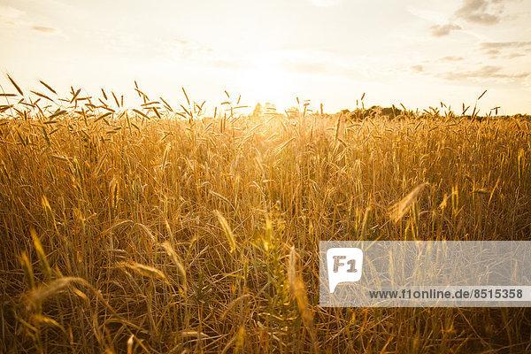 Nutzpflanze  Feld  groß  großes  großer  große  großen  Weizen  Sellerie