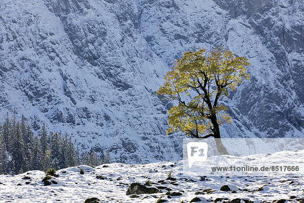 Laub Österreich Ahorn Schnee Tirol Karwendelgebirge