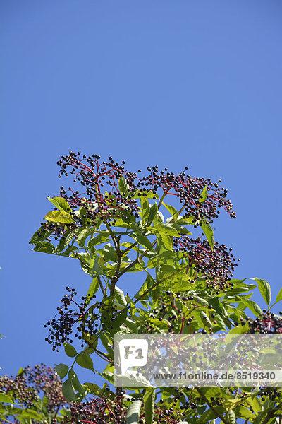 Holunderbuschkrone (Sambucus cerulea) mit Holunderbeeren vor blauem Himmel