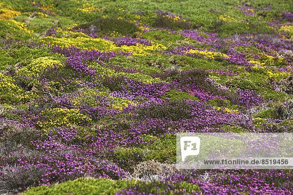 Frankreich  Bretagne  Cap Frehel  Landschaft mit Ginster und Heidekraut