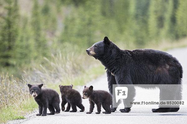 Kanada  Rocky Mountains  Alberta. Jasper Nationalpark  Amerikanischer Schwarzbär (Ursus americanus) mit Bärenjungen  die eine Straße überqueren. Kanada, Rocky Mountains, Alberta. Jasper Nationalpark, Amerikanischer Schwarzbär (Ursus americanus) mit Bärenjungen, die eine Straße überqueren.