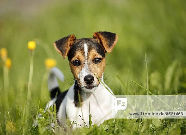 Deutschland  Baden-Württemberg  Jack Russel Terrier Welpe auf der Wiese
