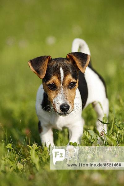 Germany  Baden-Wuerttemberg  Jack Russel Terrier puppy standing on meadow