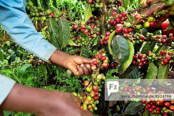 Produktion  Kaffee  Kenia