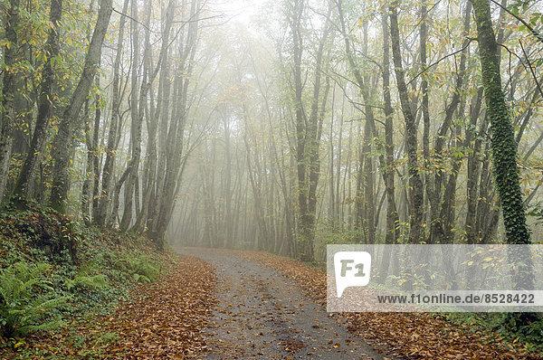 Eine kleine Straße führt durch einen nebligen Wald im Herbst  Region Limousin  Frankreich