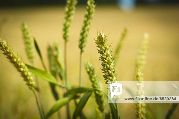 Nahaufnahme von Weizenhalmen im Freien