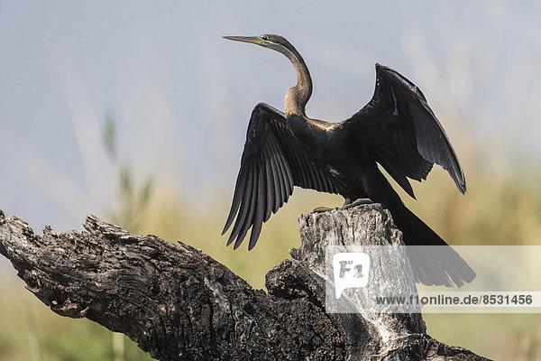 Schlangenhalsvogel (Anhinga rufa)  Botswana
