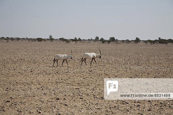 Arabische Oryx (Oryx leucoryx)  Oman